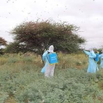 Galmudug to fight desert locusts with pesticides