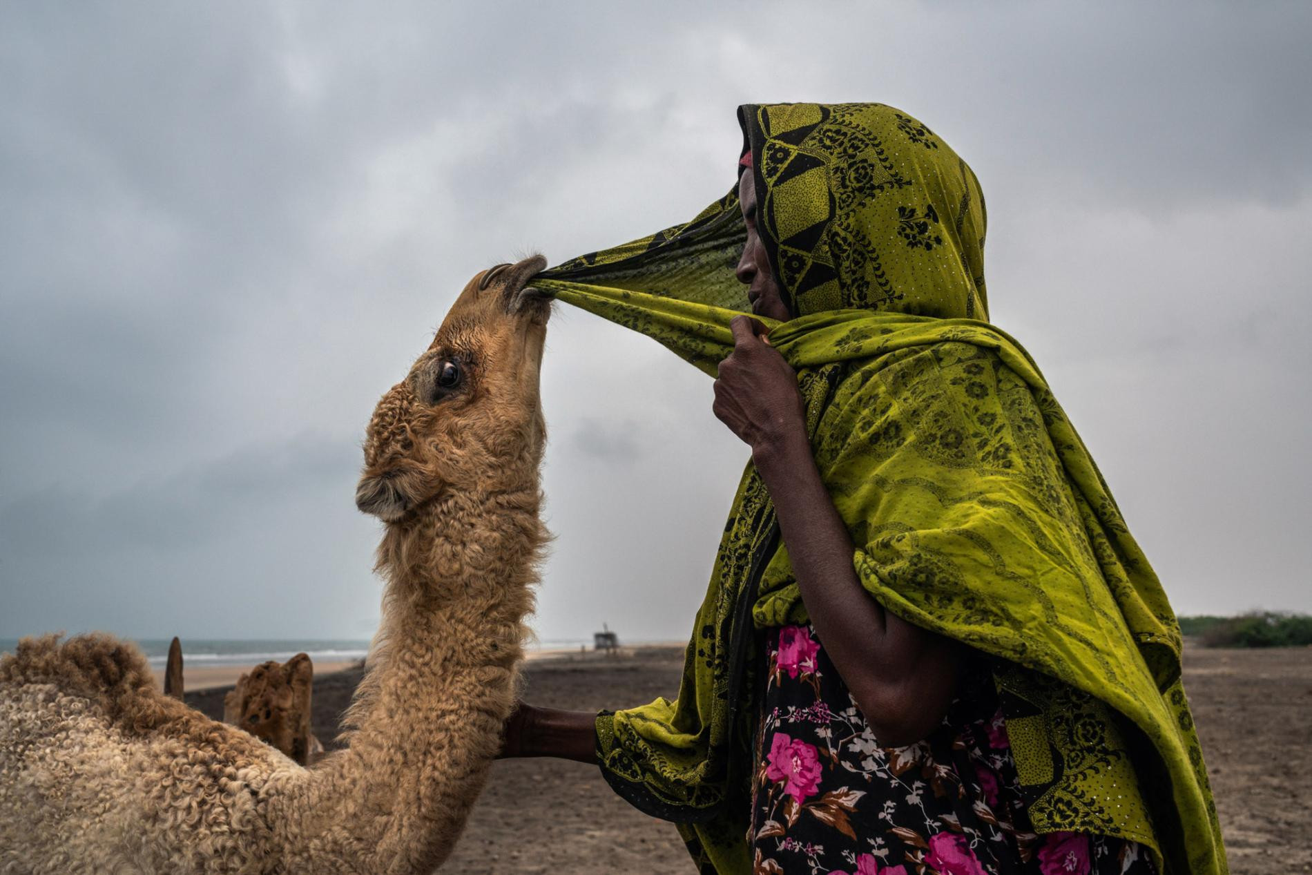 Baarud, a five-month-old camel tugs at Aadar Mohamed's hijab. Baarud means tough, a name the camel inherited from his mother, who survived three droughts and a cyclone that killed off hundreds of other camels in the village of Hijiinle, on Somaliland's north coast.